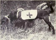 WW I Ambulance dogs were used to search for the wounded on the battlefield.