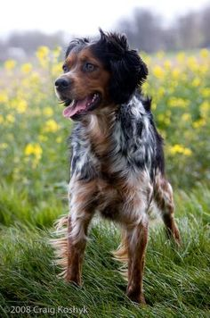 37 Best French Brittany Spaniel Images French Brittany Spaniel