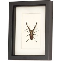 Giant Stag Beetle Archival Mat Insect Display ($58) ❤ liked on Polyvore featuring home, home decor, wall art, black, home & living, home décor, wall décor, wall hangings, stag wall art and train wall art