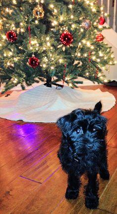 Hank (schnauzer yorkie puppy)