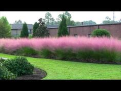 pink muhly grass - grows on steep slopes, poor soil, full sun, doesn't need water