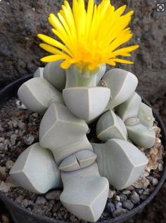 succulent that looks like it's from another planet.                                                                                                                                                      More