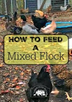 feed a mixed flock- when raising ducklings, chicks, and full grown chickens, what is the best way to meet all the nutritional needs? Portable Chicken Coop, Chicken Coop Plans, Chicken Feed, Diy Chicken Coop, City Chicken, Chicken Treats, Small Chicken, Chicken Lady, Backyard Ducks