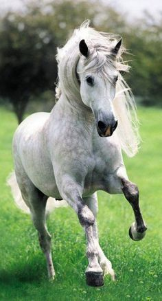 The Spanish Andalusian horse in motion.                                                                                                                                                      More