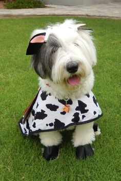 Abbey dressed as a cow
