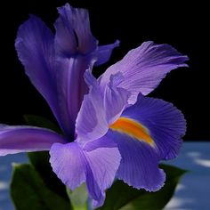 A rich, purple Iris blossom from a bouquet.  Photo by Kirsten Giving.