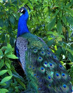 when I was a kid, these amazing creatures roamed freely at the farm where we live in Puerto Rico. Peacock And Peahen, Peacock Art, Peacock Colors, Peacock Feathers, Pretty Birds, Beautiful Birds, Animals Beautiful, Simply Beautiful, Peacock Images