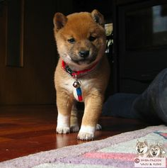 Shiba Inu Puppy  By TanteTilly