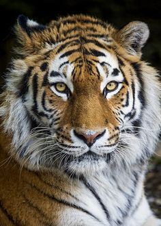 The wonderful and pretty Elena - Katzen Tiger Fotografie, Beautiful Cats, Animals Beautiful, Animals And Pets, Cute Animals, Wild Animals, Baby Animals, Tiger Pictures, Gato Grande