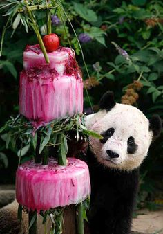 The National Zoo held an event to   celebrate the giant panda Tai   Shan's fourth birthday with a frozen   cake made from water, bamboo,   shredded beets and beet juice.