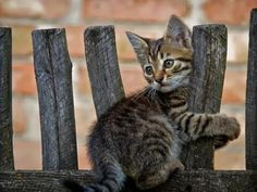 """Kitten:  """"I was TOLD to sit on the fence!"""""""