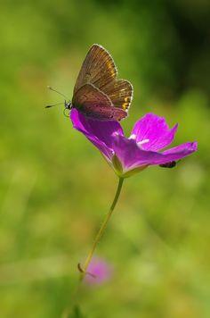 Storchschnabel-Bläuling (Aricia eumedon) - Karlstadter Trockengebiete (UFR), 15.06.2014 Moth, Butterflies, Insects, Nature, Flowers, Animals, Naturaleza, Animales, Animaux