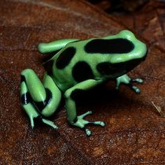 Poison Dart Frogs | 22 Colorful Animals Who Look Too Beautiful To Be Real