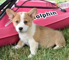 #WelshCorgi #Corgi #Charming #PinterestPuppies #PuppiesOfPinterest #Puppy #Puppies #Pups #Pup #Funloving #Sweet #PuppyLove #Cute #Cuddly #Adorable #ForTheLoveOfADog #MansBestFriend #Animals #Dog #Pet #Pets #ChildrenFriendly #PuppyandChildren #ChildandPuppy #LancasterPuppies