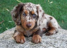 This is the kind of dog I want! A dapple Dachshund