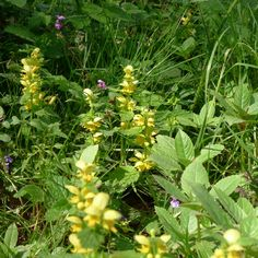 Yellow Archangel, Lamiastrum galeobdolon, growing in woods, East Sussex, May