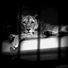 Berlin'de bir mutsuz aslan -Zoo Berlin - Berlin - Almanya  03.05.2009    (ilk kez fotoğrafa müdahale ettim ve kenarlardan kararttım, kirli duvarlar görünmeyince daha anlamlı oldu sanki…)
