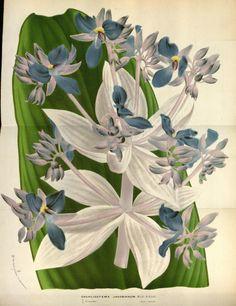 Cochliostema jacobianum. Flore des serres et des jardins de l'Europe v.18 (1869-70). A Gand :chez Louis van Houtte, éditeur,1845-1880. Biodiversitylibrary. Biodivlibrary. BHL. Biodiversity Heritage Library