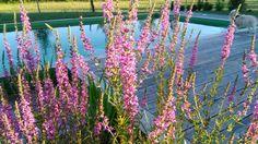 On profite aussi des fleurs au bord de la piscine écologique de Brin de Cocagne - Chambre d'hôtes écologique de charme dans le Tarn près d'Albi - Brin de Cocagne