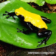 Dart Frog Connection - Adelphobates Galactonotus Yellow - Adelphobates - Dart Frogs
