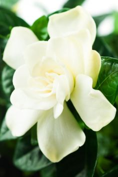 Gardenia jasminoides...my mothers favorite flower, every time I see or smell it..I think if her. And miss her more...