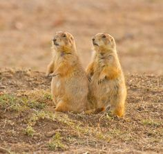 A pair of prairie dogs check out their surroundings at the Wichita Mountains Wildlife Refuge near Lawton, Oklahoma.