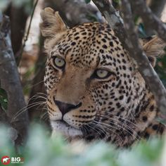 Hidden Leopard - Crocodile Bridge, Kruger Park  Canon 5Dmk2 with EF 100-400mm lens, f/5.6, 1/160 sec, ISO 1000, 400mm.