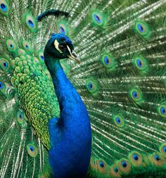 Naughty peacock