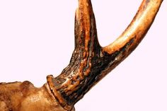 Many deer antlers are too curved to be used as-is for knife handles, but you can straighten them so that they can accept the tang of a blade. Once you've straightened an antler, you can prepare and attach it to a knife blade without needing adhesives. Deer Antler Crafts, Antler Art, Antler Jewelry, Deer Antler Ring, Deer Horns, Deer Skulls, Moose Antlers, Painted Deer Antlers, Painted Skulls