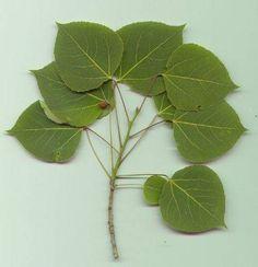 lovely Aspen leaves