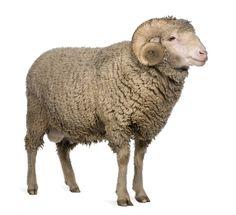 Kuvahaun tulos haulle ram sheep