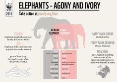 Elephants-Agony and Ivory