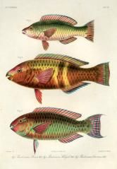 moensi, Yellowband Parrotfish, pseudoscarus bataviensis - high resolution image from old book. Nautical Drawing, Rare Fish, Blue Bar, East Indies, Fish Print, Prints For Sale, Animals, Seed Packets, Pacific Ocean