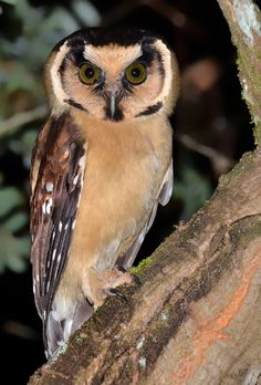 Buff Fronted Owl