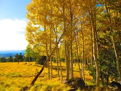 The changing leaves are a must see when visiting Flagstaff in the Fall.