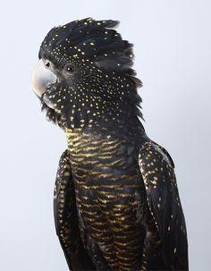 Skye Red-Tailed Black Cockatoo