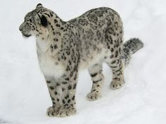 Snow leopard Uzbekistan | China nominates Tianshan Mountains for UNESCO heritage bid, China ...
