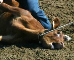 Just say rodeNO. http://www.sharkonline.org/index.php/animal-cruelty/rodeo-cruelty