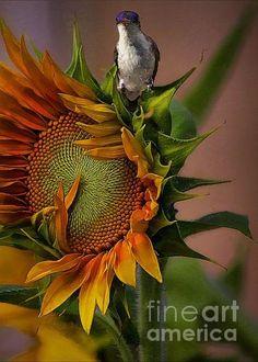 Hummingbird sitting on top of the Sunflower