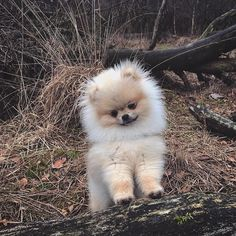 Delightful Comical And Sweet Pomeranian Ideas. Charming Comical And Sweet Pomeranian Ideas. Cute Dogs And Puppies, Baby Dogs, Doggies, Cute Little Animals, Cute Funny Animals, Little Dogs, Dog Flea Treatment, Cute Pomeranian, Teddy Bear Pomeranian