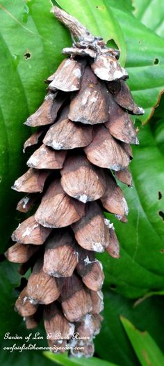 Pinecones dropping in Fall (Garden of Len & Barb Rosen)
