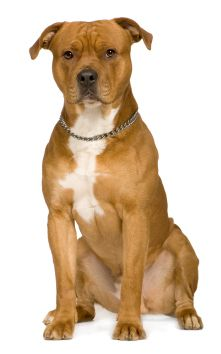 American Staffordshire Terrier :)
