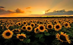 Sunflower Sunset Wallpaper Phone For Desktop Wallpaper 1920 x 1200 px KB field myspace widescreen sunrise Sunflower Wallpaper Hd, Hd Flower Wallpaper, Wallpaper Für Desktop, Wallpaper Notebook, Field Wallpaper, Macbook Wallpaper, Sunset Wallpaper, Nature Wallpaper, Desktop Backgrounds