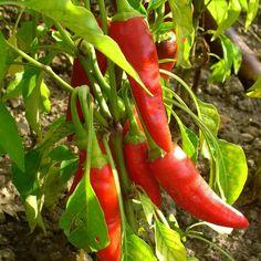 Aleppo Pepper Seeds + FREE Bonus 6 Variety Seed Pack - a $30 Value!