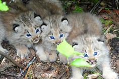 Baby Lynx in Northern Maine