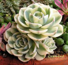 Echeveria 'Compton Carousel' (sometimes named 'Lenore Dean' or 'Serenity') | Flickr - Photo Sharing!