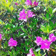 紫ツツジ #landscape