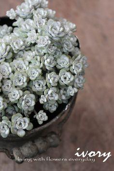 Sedum spathulifolium 'Cape Blanco' / ケープブランコ / 白雪みせばや 『白雪ミセバヤ』