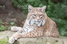 Bobcat (Lynx rufus californicus) sitting on a rock and posing. royalty-free stock photo