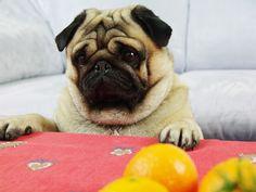Pug Valli interested in small mandarin - http://europug.eu/valli-interested-mandarin/